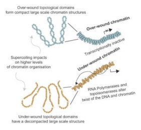 Transcription forms and remodels supercoiling domains